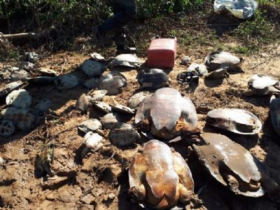 250 tartarugas em extinção são devolvidas à natureza